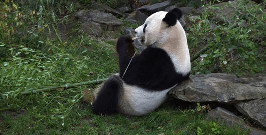 Panda la Zoo Viena
